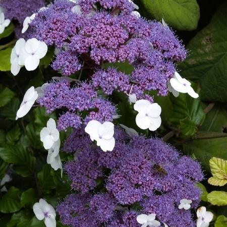 Hortensja kosmata 'Macrophylla'