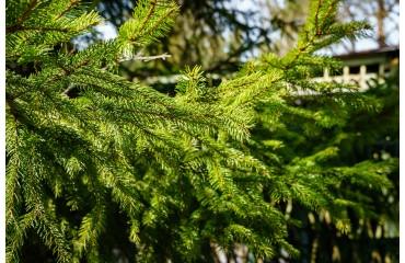 Jakie rośliny sadzić pod drzewami iglastymi?