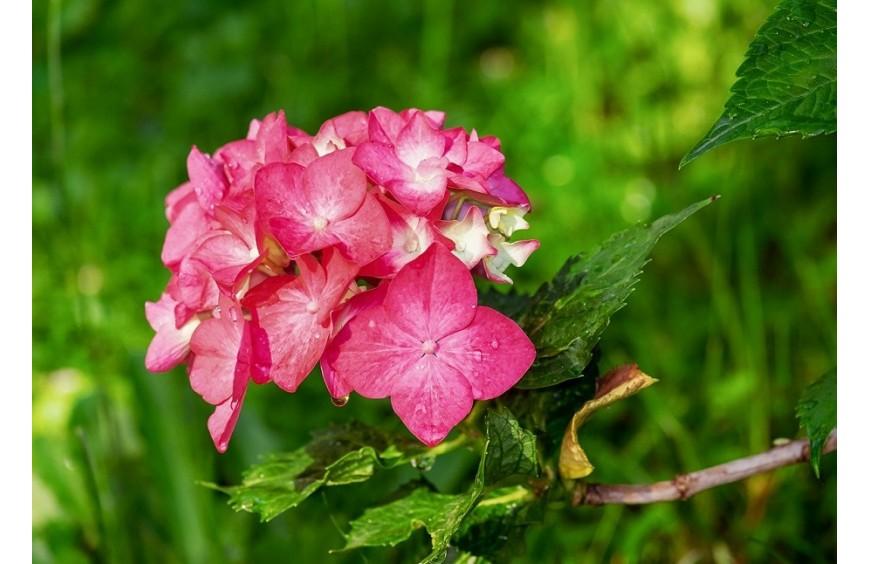 Hortensja - jak zmienić kolor kwiatów?