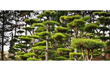 Cis japoński w polskich ogrodach