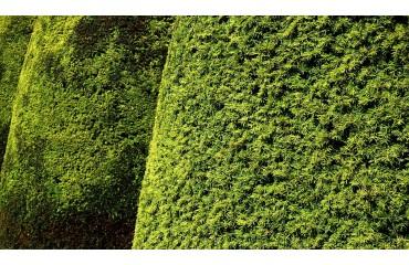 Cis pośredni – sadzonki ogrodowe z olbrzymim potencjałem aranżacyjnym!