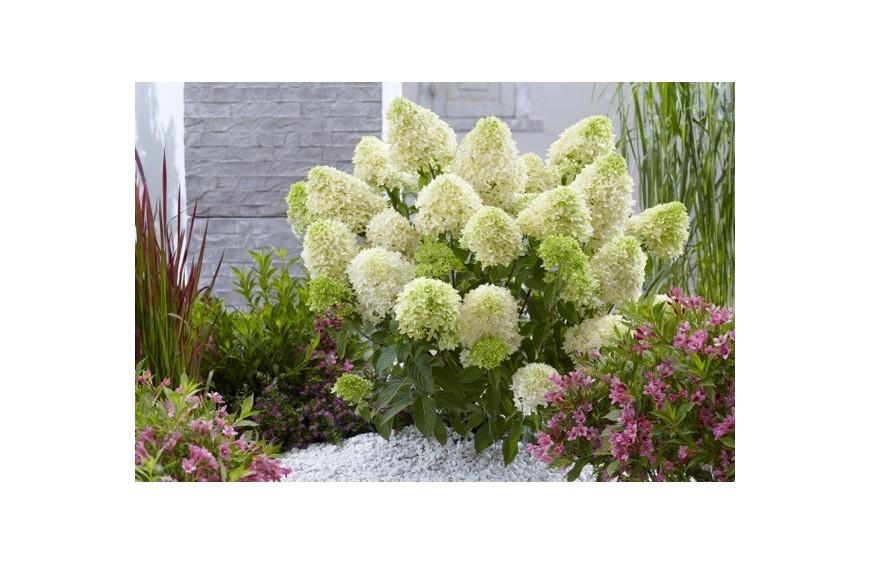 Hortensja ogrodowa - uprawa, podłoże, podlewanie, przycinanie