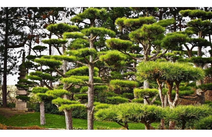 Jak zrobić bonsai z cisa? Czy to możliwe?
