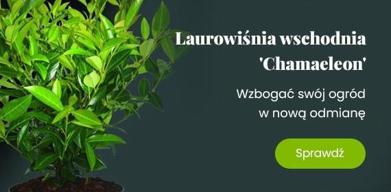 Wzbogać swój ogród w nową odmianę  Laurowiśni wschodniej 'Chamaeleon'